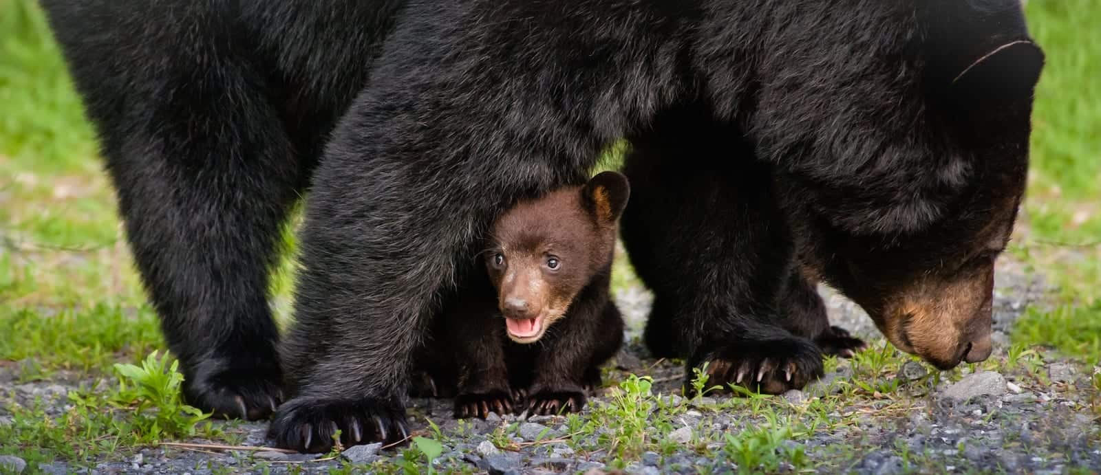 baby black bear hiding under mother bear
