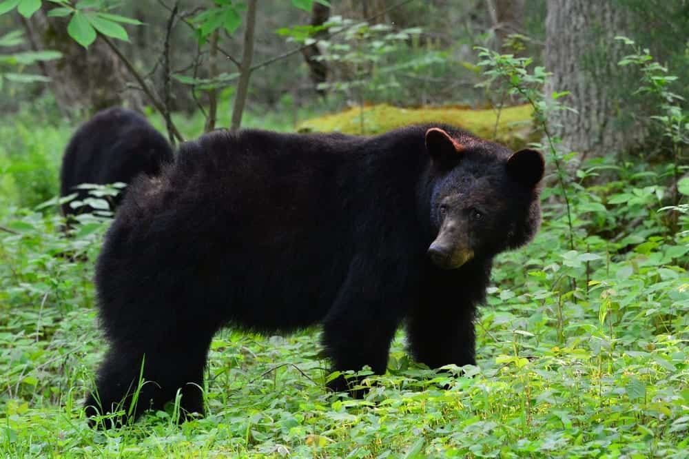 black bear in Gatlinburg standing in a field