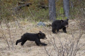 Two black bear cubs playing in the Smoky Mountains