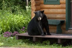 black bear in gatlinburg on deck of cabin